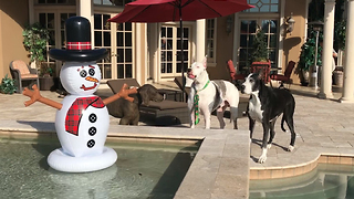 Funny Great Danes Meet Snowman in Florida - Video