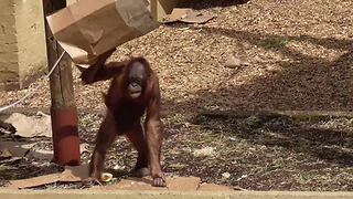 Orangutan rolls up cardboard box, fishes leaf from pond - Video