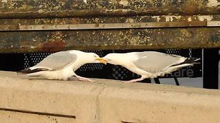Large seagulls play tug of war with their beaks - Video