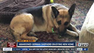 Abandoned German Shepard lives happily ever after