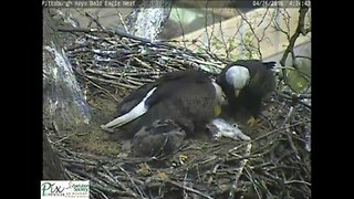 Eagle Brings Cat to Nest for Eaglets - Video