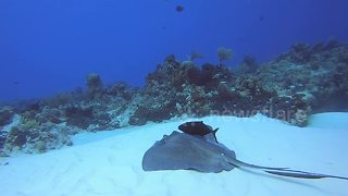 Odd couple: Jack fish and stingray stick side-by-side in ocean - Video