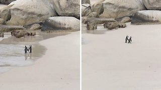Penguin Couple Emerges From Ocean Holding Hands