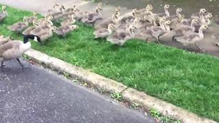 Mass gathering of baby geese - Video