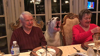 Funny Deaf Great Dane Discusses Canada With Grandparents  - Video