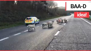 Hilarious video shows flock of sheep being hearded along a dual carriageway