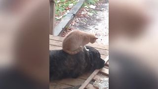 Funny Cat Gives A Dog Massage - Video
