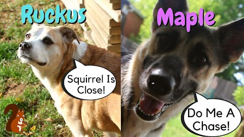 Dogs Chasing Squirrels | Almost Gets One...Lucky Squirrel