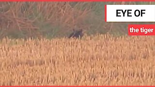 Couple claim to have spotted a large wild cat, known locally as the Fen Tiger in Suffolk