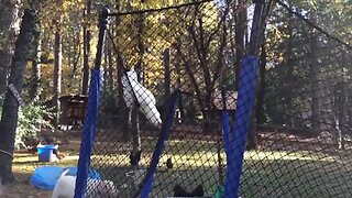 Chicken Makes Her Own Swing