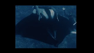 Diver Swims With Giant Manta Ray Off Hawaii