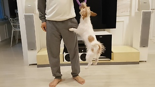 Hyper Jack Russell helps owner's workout routine