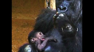 Baby Gorilla Surprise - Video