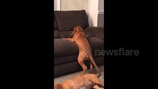 Perseverance pays off for puppy struggling to get on couch - Video