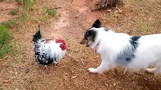 """""""Dog VS Rooster: Who's the chicken now?"""""""