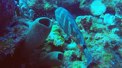 Try And Identify The Mysterious Object Embedded Onto This Grouper