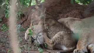 Too cute! Lion cub won't leave mum alone in candid footage - Video