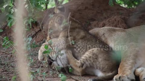 Too cute! Lion cub won't leave mum alone in candid footage