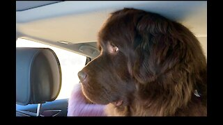 Huge Newfoundland doesn't fully fit inside a car