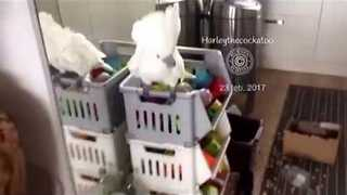 Cockatoo Performs Silly Shake Dance for Her Reflection - Video