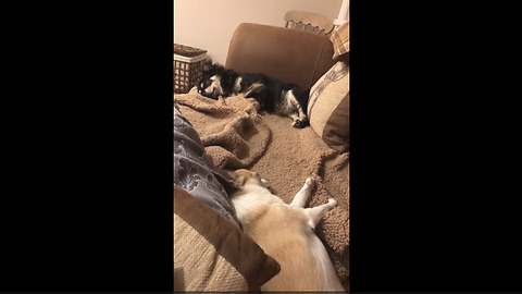 Chihuahua gets excited when owner mentions bedtime