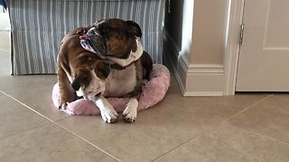 Bulldog puppy steals bed from napping adult - Video
