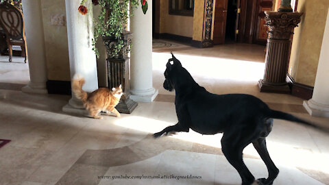 Playful cat chases bouncing Great Dane