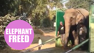 Moment an elephant who spent years shackled with leg chains took its first steps - Video