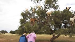 These Unusual Goats Love To Spend Their Time In Trees  - Video