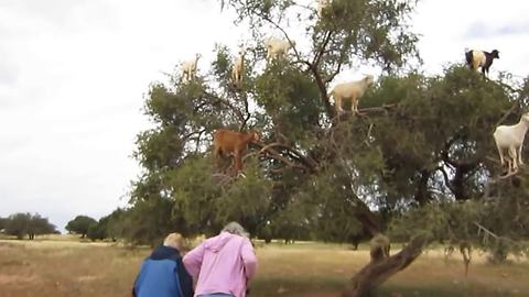 These Unusual Goats Love To Spend Their Time In Trees