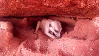 Rescued meerkat makes tunnels after being released - Video