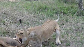 Lioness slaps 'lazy' male on rear - Video