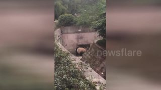 Giant panda dances in China's Chongqing Zoo - Video