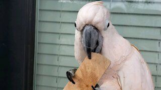 Cockatoo decides to do some woodworking on the patio