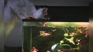 """Cat Drinks Water From Fish Tank"""