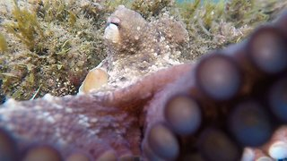 Curious octopus engulfs camera when diver gets too close