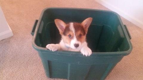 Corgi puppy escapes from laundry basket