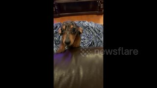 Needy sausage dog dances in anticipation of owner returning