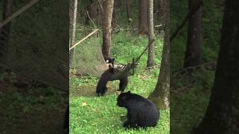 Momma Black Bear And Her Cubs Play With The Backyard Hammock