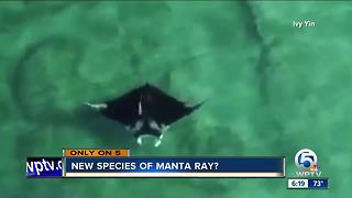Possible new species of manta ray spotted off Palm Beach
