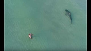 Drone shows tiger shark getting extremely close to swimmers in Miami