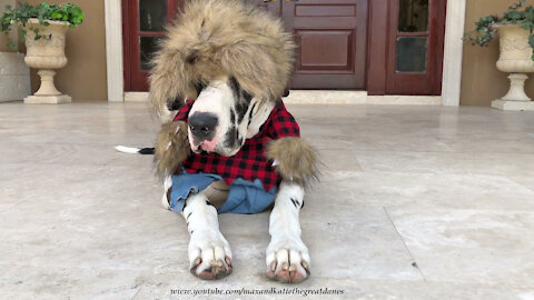 Funny Great Dane In Halloween Werewolf Costume Will Make You Laugh