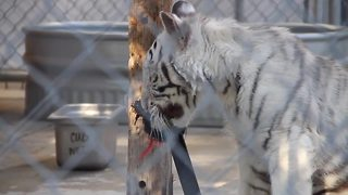 Sanctuary asks for help naming white tiger cub - Video
