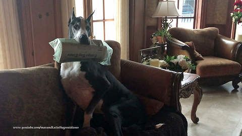 Funny Great Danes Don't Want to Fetch Newspaper in the Rain