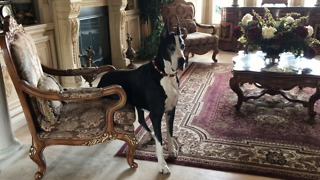 Regal Great Dane Watch Dog Sits Like A Person
