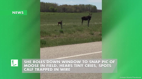 She Rolls Down Window to Snap Pic of Moose in Field. Hears Tiny Cries, Spots Calf Trapped in Wire