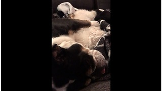 Bulldog cuddles with mini poodle for nap time - Video