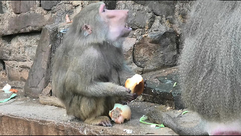 Clever baboon dips his bread in the water