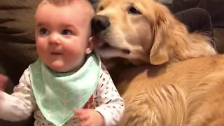 Baby snuggles in pile of Golden Retrievers - Video