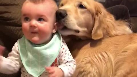 Baby snuggles in pile of Golden Retrievers